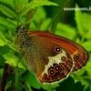 Coenonympha arcania - Krūminis satyriukas | Fotografijos autorius : Romas Ferenca | © Macrogamta.lt | Šis tinklapis priklauso bendruomenei kuri domisi makro fotografija ir fotografuoja gyvąjį makro pasaulį.