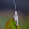 Makštikandė - Coleophora sp. | Fotografijos autorius : Romas Ferenca | © Macrogamta.lt | Šis tinklapis priklauso bendruomenei kuri domisi makro fotografija ir fotografuoja gyvąjį makro pasaulį.