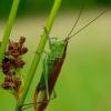 Conocephalus dorsalis - Pelkinis smailiagalvis | Fotografijos autorius : Romas Ferenca | © Macrogamta.lt | Šis tinklapis priklauso bendruomenei kuri domisi makro fotografija ir fotografuoja gyvąjį makro pasaulį.