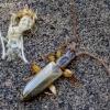 Šiaurinis plokščiavabalis - Dendrophagus crenatus    Fotografijos autorius : Romas Ferenca   © Macrogamta.lt   Šis tinklapis priklauso bendruomenei kuri domisi makro fotografija ir fotografuoja gyvąjį makro pasaulį.