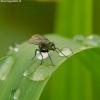 Ilgakojė muselė - Dolichopodidae  | Fotografijos autorius : Romas Ferenca | © Macrogamta.lt | Šis tinklapis priklauso bendruomenei kuri domisi makro fotografija ir fotografuoja gyvąjį makro pasaulį.