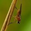 Lonchoptera sp. - Smailiasparnė muselė   Fotografijos autorius : Romas Ferenca   © Macrogamta.lt   Šis tinklapis priklauso bendruomenei kuri domisi makro fotografija ir fotografuoja gyvąjį makro pasaulį.
