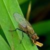 Botanophila sp. - Žiedenė   Fotografijos autorius : Romas Ferenca   © Macrogamta.lt   Šis tinklapis priklauso bendruomenei kuri domisi makro fotografija ir fotografuoja gyvąjį makro pasaulį.