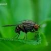 Minettia fasciata - Girinukė | Fotografijos autorius : Romas Ferenca | © Macrogamta.lt | Šis tinklapis priklauso bendruomenei kuri domisi makro fotografija ir fotografuoja gyvąjį makro pasaulį.
