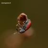 Dorytomus dorsalis - Blindinis gluosniastraublis | Fotografijos autorius : Romas Ferenca | © Macrogamta.lt | Šis tinklapis priklauso bendruomenei kuri domisi makro fotografija ir fotografuoja gyvąjį makro pasaulį.