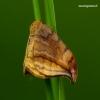 Drepana curvatula - Tamsusis lenktasparnis | Fotografijos autorius : Romas Ferenca | © Macrogamta.lt | Šis tinklapis priklauso bendruomenei kuri domisi makro fotografija ir fotografuoja gyvąjį makro pasaulį.