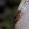 Vaisinė muselė - Drosphila busckii   Fotografijos autorius : Romas Ferenca   © Macrogamta.lt   Šis tinklapis priklauso bendruomenei kuri domisi makro fotografija ir fotografuoja gyvąjį makro pasaulį.