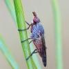 Elgiva cucularia - Sraigžudė | Fotografijos autorius : Romas Ferenca | © Macrogamta.lt | Šis tinklapis priklauso bendruomenei kuri domisi makro fotografija ir fotografuoja gyvąjį makro pasaulį.