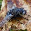 Dygliamusė - Panzeria puparum | Fotografijos autorius : Romas Ferenca | © Macrogamta.lt | Šis tinklapis priklauso bendruomenei kuri domisi makro fotografija ir fotografuoja gyvąjį makro pasaulį.