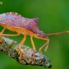 Blakė - Gonocerus acuteangulatus | Fotografijos autorius : Romas Ferenca | © Macrogamta.lt | Šis tinklapis priklauso bendruomenei kuri domisi makro fotografija ir fotografuoja gyvąjį makro pasaulį.