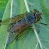 Sparva - Hybomitra bimaculata | Fotografijos autorius : Romas Ferenca | © Macrogamta.lt | Šis tinklapis priklauso bendruomenei kuri domisi makro fotografija ir fotografuoja gyvąjį makro pasaulį.