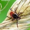 Ixodes ricinus - Miškinė erkė / Šuninė erkė | Fotografijos autorius : Romas Ferenca | © Macrogamta.lt | Šis tinklapis priklauso bendruomenei kuri domisi makro fotografija ir fotografuoja gyvąjį makro pasaulį.