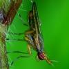 Limnia unguicornis - Sraigžudė | Fotografijos autorius : Romas Ferenca | © Macrogamta.lt | Šis tinklapis priklauso bendruomenei kuri domisi makro fotografija ir fotografuoja gyvąjį makro pasaulį.