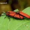 Lygistopterus sanguineus - Žiedvabalis | Fotografijos autorius : Romas Ferenca | © Macrogamta.lt | Šis tinklapis priklauso bendruomenei kuri domisi makro fotografija ir fotografuoja gyvąjį makro pasaulį.