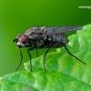 Anthomyiidae - Žiedenė   Fotografijos autorius : Romas Ferenca   © Macrogamta.lt   Šis tinklapis priklauso bendruomenei kuri domisi makro fotografija ir fotografuoja gyvąjį makro pasaulį.