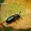 Necrobia violacea - Violetinis keršvabalis | Fotografijos autorius : Romas Ferenca | © Macrogamta.lt | Šis tinklapis priklauso bendruomenei kuri domisi makro fotografija ir fotografuoja gyvąjį makro pasaulį.