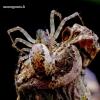 Neriene montana - Kalninis lygumvoris | Fotografijos autorius : Romas Ferenca | © Macrogamta.lt | Šis tinklapis priklauso bendruomenei kuri domisi makro fotografija ir fotografuoja gyvąjį makro pasaulį.