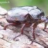 Osmoderma barnabita - Niūriaspalvis auksavabalis | Fotografijos autorius : Romas Ferenca | © Macrogamta.lt | Šis tinklapis priklauso bendruomenei kuri domisi makro fotografija ir fotografuoja gyvąjį makro pasaulį.