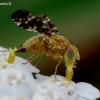 Margasparnė - Oxyna flavipennis | Fotografijos autorius : Romas Ferenca | © Macrogamta.lt | Šis tinklapis priklauso bendruomenei kuri domisi makro fotografija ir fotografuoja gyvąjį makro pasaulį.