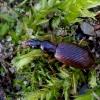 Rūdiškasis slapynžygis - Oxypselaphus obscurus | Fotografijos autorius : Romas Ferenca | © Macrogamta.lt | Šis tinklapis priklauso bendruomenei kuri domisi makro fotografija ir fotografuoja gyvąjį makro pasaulį.