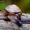 Dvidantė lapsraigė - Perforatella bidentata   Fotografijos autorius : Romas Ferenca   © Macrogamta.lt   Šis tinklapis priklauso bendruomenei kuri domisi makro fotografija ir fotografuoja gyvąjį makro pasaulį.