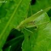 Lakštasparnis pjūklius - Phaneroptera falcata | Fotografijos autorius : Romas Ferenca | © Macrogamta.lt | Šis tinklapis priklauso bendruomenei kuri domisi makro fotografija ir fotografuoja gyvąjį makro pasaulį.