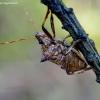 Dvispyglė skydblakė - Picromerus bidens | Fotografijos autorius : Romas Ferenca | © Macrogamta.lt | Šis tinklapis priklauso bendruomenei kuri domisi makro fotografija ir fotografuoja gyvąjį makro pasaulį.