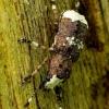 Paprastasis netikrastraublis - Platystomos albinus | Fotografijos autorius : Romas Ferenca | © Macrogamta.lt | Šis tinklapis priklauso bendruomenei kuri domisi makro fotografija ir fotografuoja gyvąjį makro pasaulį.