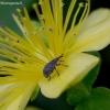 Jonažolinis apionas - Pseudoperapion brevirostre   Fotografijos autorius : Romas Ferenca   © Macrogamta.lt   Šis tinklapis priklauso bendruomenei kuri domisi makro fotografija ir fotografuoja gyvąjį makro pasaulį.