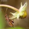 Rhopalus subrufus - Dryžapilvė kampuotblakė | Fotografijos autorius : Romas Ferenca | © Macrogamta.lt | Šis tinklapis priklauso bendruomenei kuri domisi makro fotografija ir fotografuoja gyvąjį makro pasaulį.