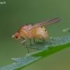Girinukė - Sapromyza sexpunctata | Fotografijos autorius : Romas Ferenca | © Macrogamta.lt | Šis tinklapis priklauso bendruomenei kuri domisi makro fotografija ir fotografuoja gyvąjį makro pasaulį.