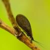 Juodoji sizyra - Sisyra nigra | Fotografijos autorius : Romas Ferenca | © Macrogamta.lt | Šis tinklapis priklauso bendruomenei kuri domisi makro fotografija ir fotografuoja gyvąjį makro pasaulį.