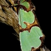 Smaragdinis smiltinukas - Staurophora celsia | Fotografijos autorius : Romas Ferenca | © Macrogamta.lt | Šis tinklapis priklauso bendruomenei kuri domisi makro fotografija ir fotografuoja gyvąjį makro pasaulį.