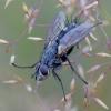 Dygliamusė - Eriothrix rufomaculata   Fotografijos autorius : Romas Ferenca   © Macrogamta.lt   Šis tinklapis priklauso bendruomenei kuri domisi makro fotografija ir fotografuoja gyvąjį makro pasaulį.