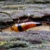 Trumpasparnis - Tachyporus obtusus | Fotografijos autorius : Romas Ferenca | © Macrogamta.lt | Šis tinklapis priklauso bendruomenei kuri domisi makro fotografija ir fotografuoja gyvąjį makro pasaulį.
