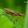 Limnia unguicornis - Sraigžudė   Fotografijos autorius : Romas Ferenca   © Macrogamta.lt   Šis tinklapis priklauso bendruomenei kuri domisi makro fotografija ir fotografuoja gyvąjį makro pasaulį.