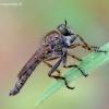 Tolmerus cingulatus - Plėšriamusė | Fotografijos autorius : Romas Ferenca | © Macrogamta.lt | Šis tinklapis priklauso bendruomenei kuri domisi makro fotografija ir fotografuoja gyvąjį makro pasaulį.