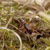Microlinyphia pusilla - Mažasis lankainis | Fotografijos autorius : Romas Ferenca | © Macrogamta.lt | Šis tinklapis priklauso bendruomenei kuri domisi makro fotografija ir fotografuoja gyvąjį makro pasaulį.