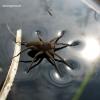Didysis plūdvoris - Dolomedes plantarius | Fotografijos autorius : Giedrius Švitra | © Macrogamta.lt | Šis tinklapis priklauso bendruomenei kuri domisi makro fotografija ir fotografuoja gyvąjį makro pasaulį.