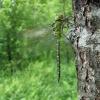Žaliasis laumžirgis - Aeshna viridis, patinas | Fotografijos autorius : Giedrius Švitra | © Macrogamta.lt | Šis tinklapis priklauso bendruomenei kuri domisi makro fotografija ir fotografuoja gyvąjį makro pasaulį.