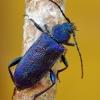 Violetinis žievėplėšis - Callidium violaceum | Fotografijos autorius : Deividas Makavičius | © Macrogamta.lt | Šis tinklapis priklauso bendruomenei kuri domisi makro fotografija ir fotografuoja gyvąjį makro pasaulį.