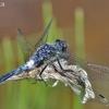 Baltakaktė skėtė - Leucorrhinia albifrons ♂    Fotografijos autorius : Deividas Makavičius   © Macrogamta.lt   Šis tinklapis priklauso bendruomenei kuri domisi makro fotografija ir fotografuoja gyvąjį makro pasaulį.
