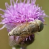 Sparva - Atylotus rusticus  | Fotografijos autorius : Deividas Makavičius | © Macrogamta.lt | Šis tinklapis priklauso bendruomenei kuri domisi makro fotografija ir fotografuoja gyvąjį makro pasaulį.