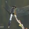 Leucorrhinia caudalis - Grakščioji skėtė | Fotografijos autorius : Deividas Makavičius | © Macrogamta.lt | Šis tinklapis priklauso bendruomenei kuri domisi makro fotografija ir fotografuoja gyvąjį makro pasaulį.