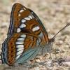 Limenitis populi - Didysis juodmargis | Fotografijos autorius : Deividas Makavičius | © Macrogamta.lt | Šis tinklapis priklauso bendruomenei kuri domisi makro fotografija ir fotografuoja gyvąjį makro pasaulį.