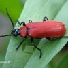 Pyrochroa coccinea - Paprastasis raudonvabalis | Fotografijos autorius : Nomeda Vėlavičienė | © Macrogamta.lt | Šis tinklapis priklauso bendruomenei kuri domisi makro fotografija ir fotografuoja gyvąjį makro pasaulį.