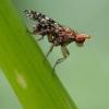 Sraigžudė - Trypetoptera punctulata  | Fotografijos autorius : Vilius Grigaliūnas | © Macrogamta.lt | Šis tinklapis priklauso bendruomenei kuri domisi makro fotografija ir fotografuoja gyvąjį makro pasaulį.