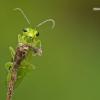 Rhogogaster viridis – Žaliasis pjūklelis | Fotografijos autorius : Vilius Grigaliūnas | © Macrogamta.lt | Šis tinklapis priklauso bendruomenei kuri domisi makro fotografija ir fotografuoja gyvąjį makro pasaulį.