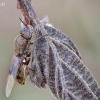 Plokščiamusė - Odontomyia argentata | Fotografijos autorius : Vilius Grigaliūnas | © Macrogamta.lt | Šis tinklapis priklauso bendruomenei kuri domisi makro fotografija ir fotografuoja gyvąjį makro pasaulį.