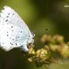 Celastrina argiolus - Žydrasis melsvys   Fotografijos autorius : Vilius Grigaliūnas   © Macrogamta.lt   Šis tinklapis priklauso bendruomenei kuri domisi makro fotografija ir fotografuoja gyvąjį makro pasaulį.
